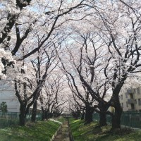 小金井の桜