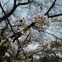 小金井公園の桜2017
